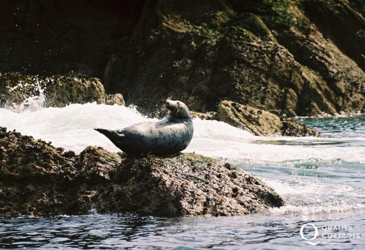 Spot Atlantic Grey Seals lounging on the rocks