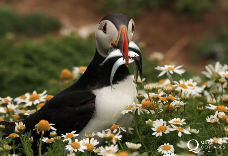 Look out for Atlantic Grey Seals, dolphins and the puffins on Skomer in early summer are a joy to watch