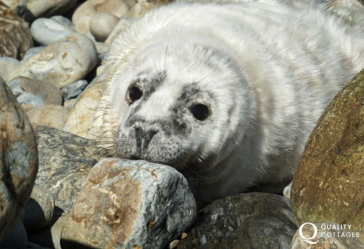 Spot Atlantic Grey seals and their pups lounging on the rocks along the Pembrokeshire coastline