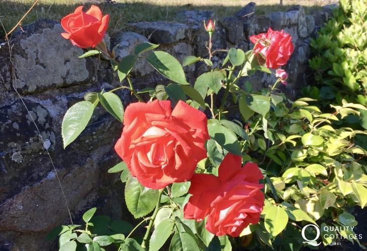 Red Rose's in garden