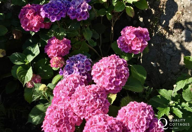 Hydrangea's in cottage garden