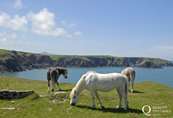 Wild ponies on the Pembrokeshire Coast Path - fabulous clifftop walking throughout the year