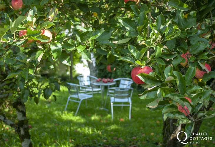 Carew holiday cottage - gardens with laden apple trees