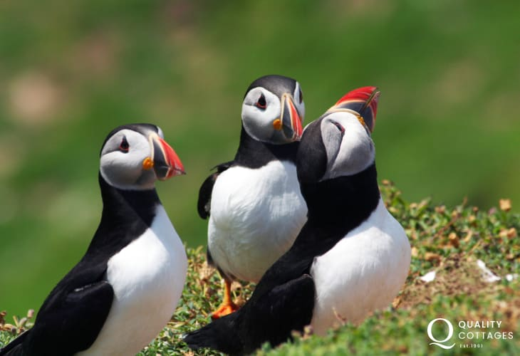 Skomer Island Puffins are just some of the seabirds