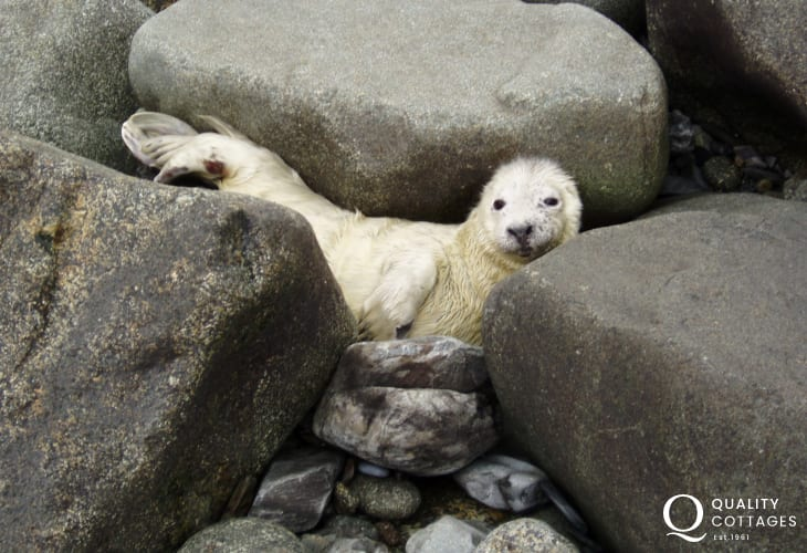 Grey seal pups may be spotted among the rocks during the breeding season