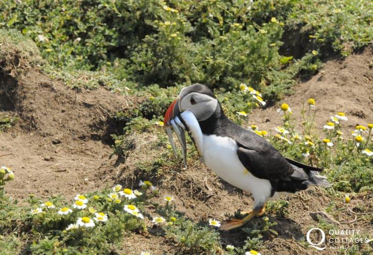 Puffin on Skomer Island