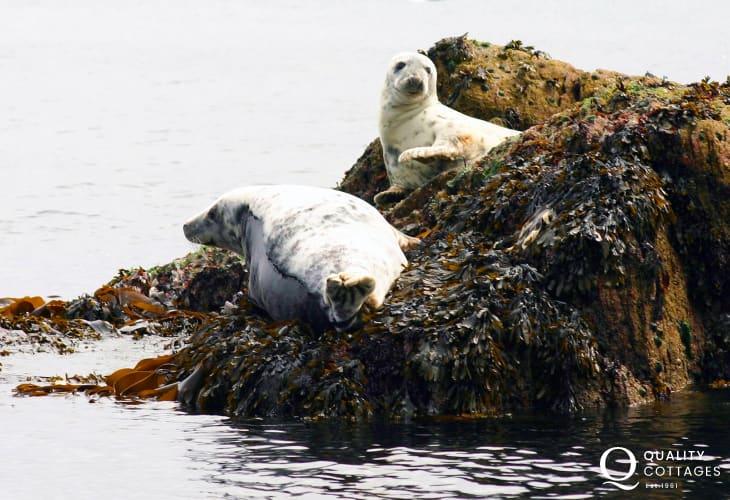 Atlantic Grey Seals Ramsey Island