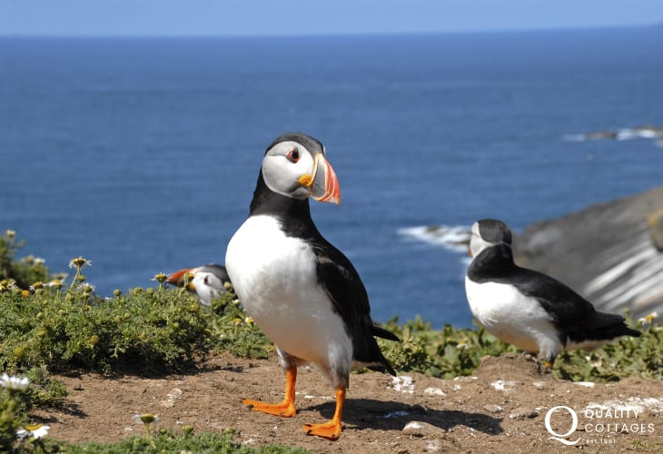 A trip to nearby Skomer Island is a great day out