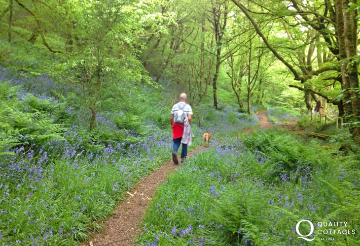 National Trust woodland walk to  Abermawr is brimming with bluebells in early summer