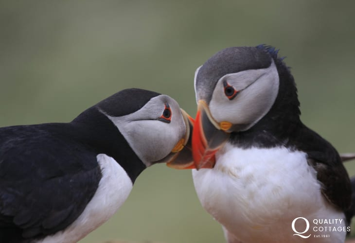 Puffins can be spotted on the off shore islands and along this rugged Welsh coastline