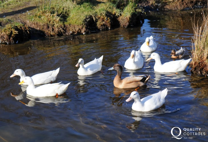 Caernarfon cottage holiday - ducks nearby