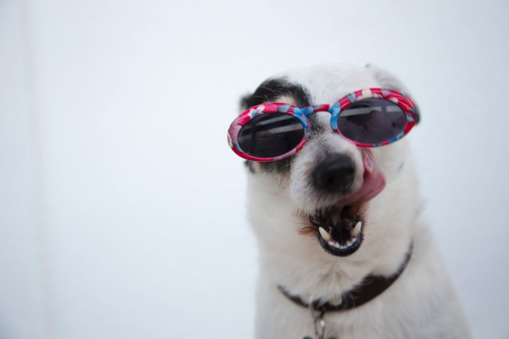 dog licking chops with sun glasses