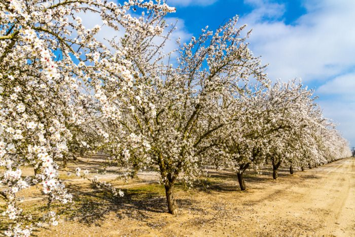 Almond Blossoms in Modesto California one of the water hungry crops of California's Central Valley
