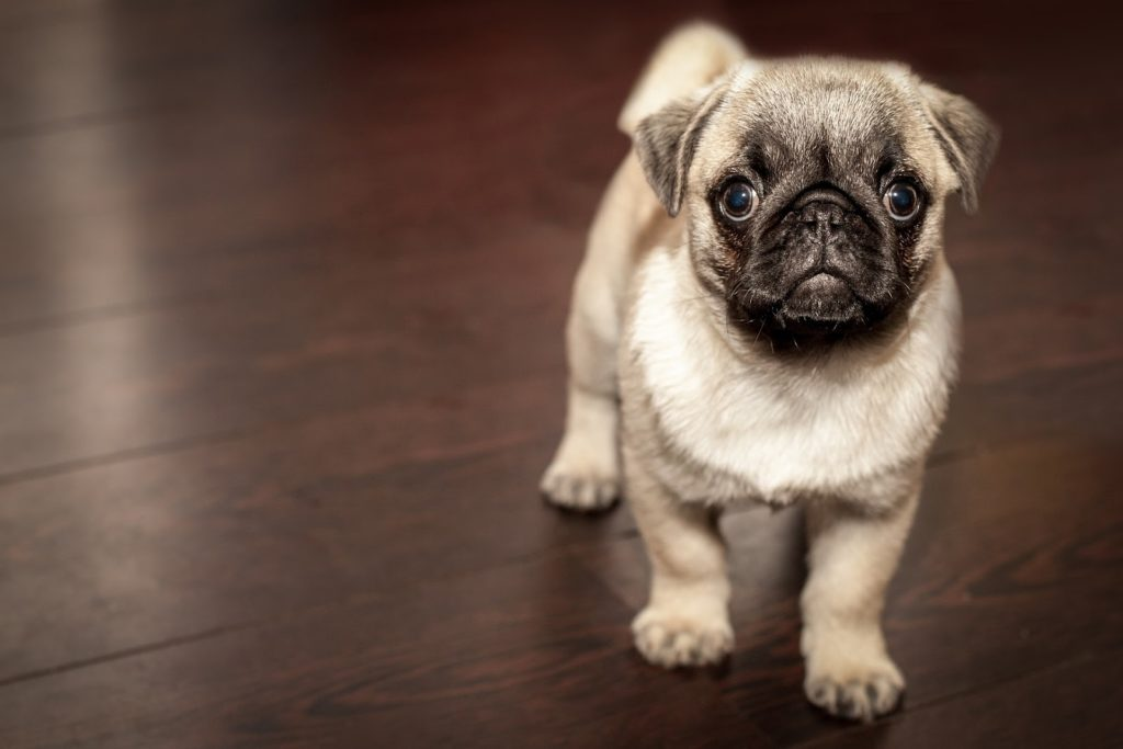 a young pug puppy at his new home