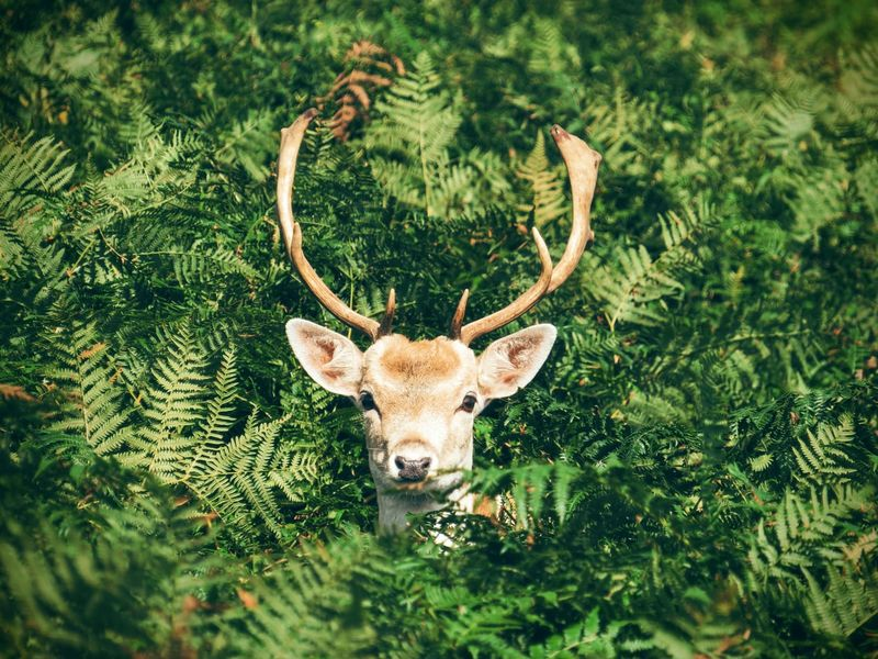 deer with antlers surrounded by ferns