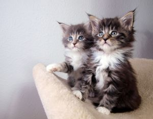 2 kittens bright eyes furry and little