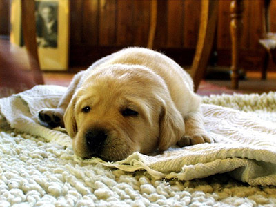 golden lab resting on rug