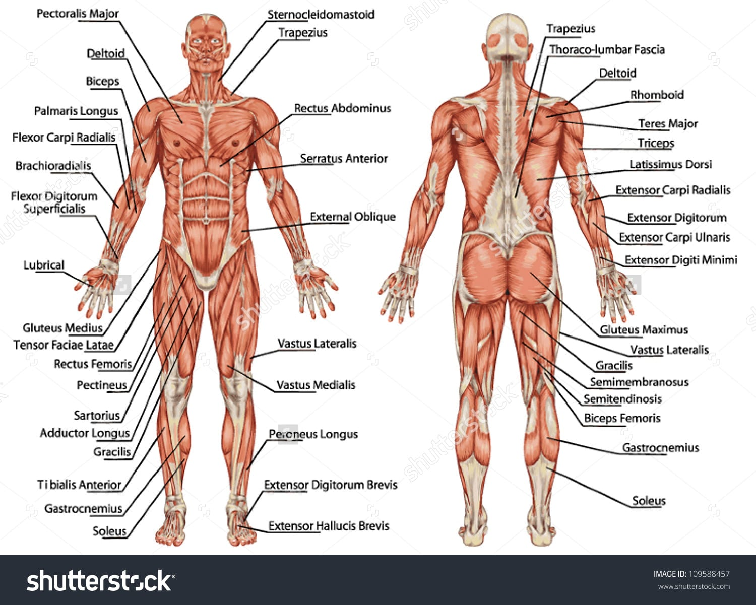anatomy-of-muscles-in-body-labeled-anterior-upper-muscle-mell-tk-on