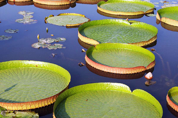Amazon lilly pads