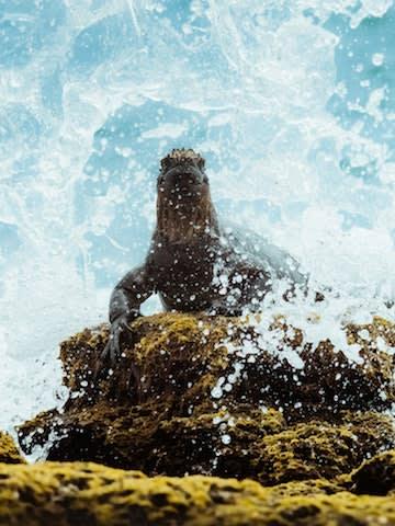 Marine Iguana In The Waves