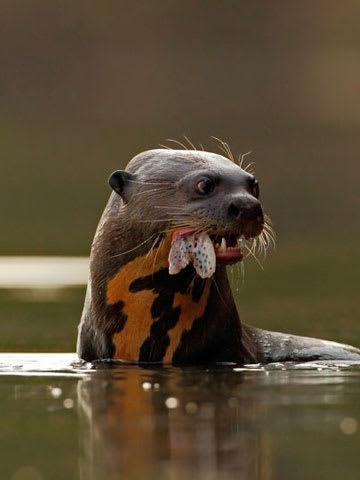 River Otter Eating Fish