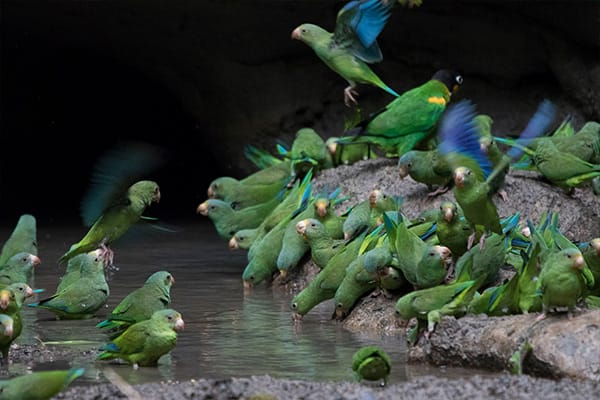 birds feeding at the clay lick