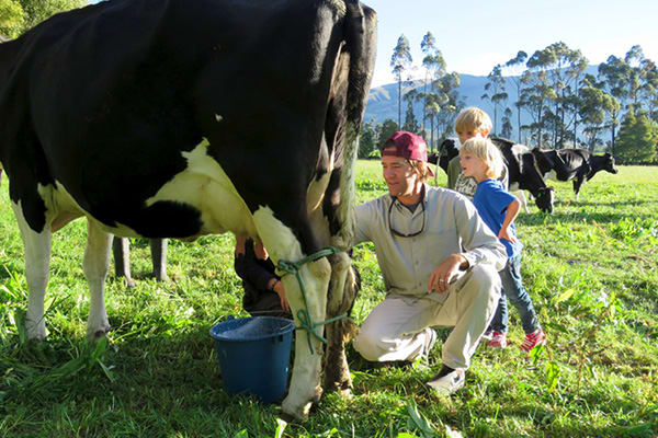 Man Milking Cow With Kids