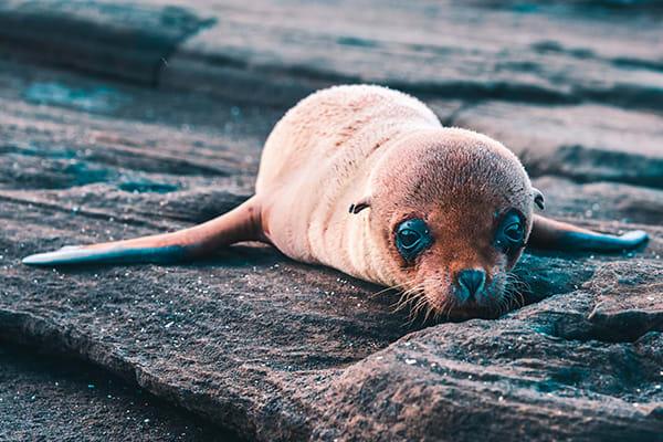 baby sea lion on dry lava
