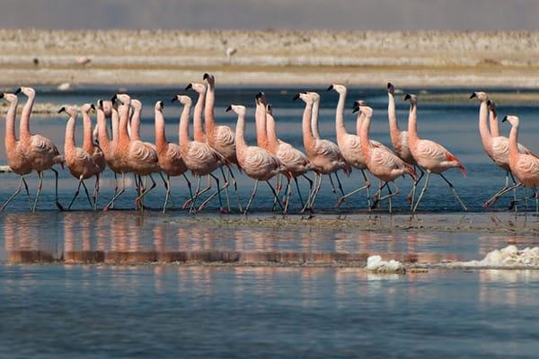 Flamingos dancing on atacama lake