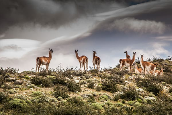Herd Wild Guanaco Chile Patagonia