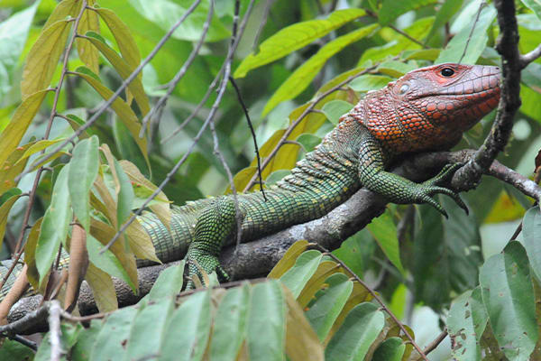 Caiman Lizard in tree