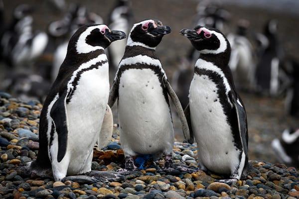 Penguins Puerto Madryn