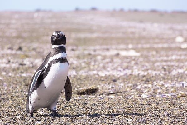 Penguins of Puerto Piramidez