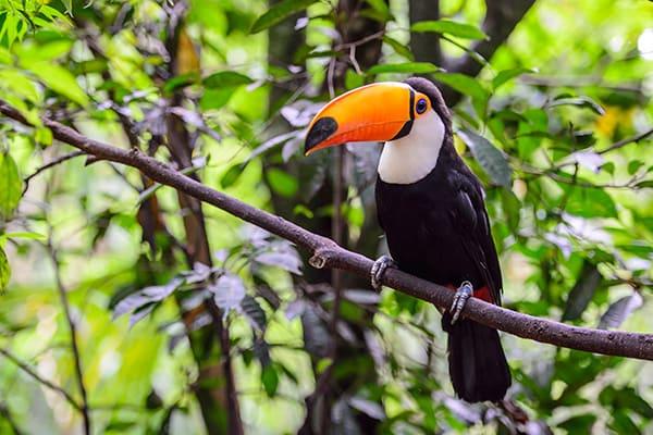 Bird Watching Toucans Yacutinga