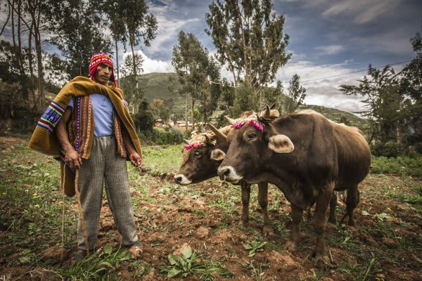 Andean Man with Cattle