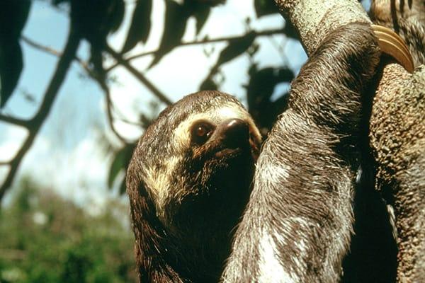 Sloth Climbing in tree
