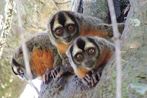 Night Monkeys peering out of a tree