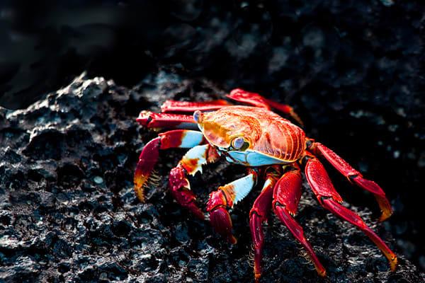 sally lightfoot crab on rocks