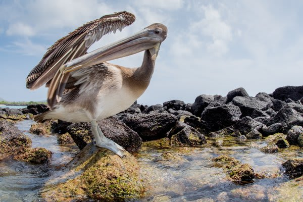 Pelican on the rocks next to tidal pool