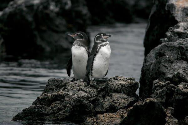 Galapagos penguins on a rock