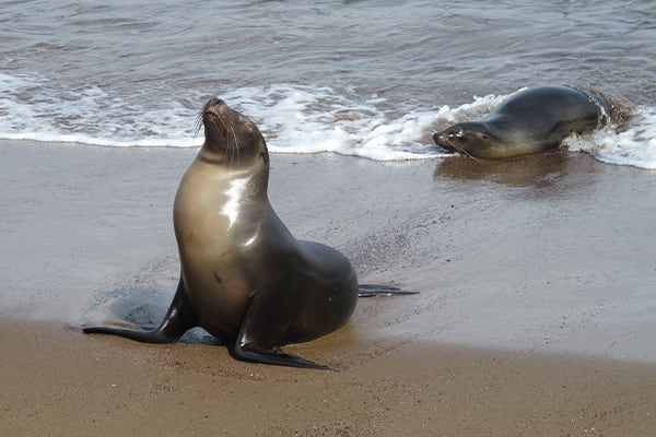 Sea lion emerging from water