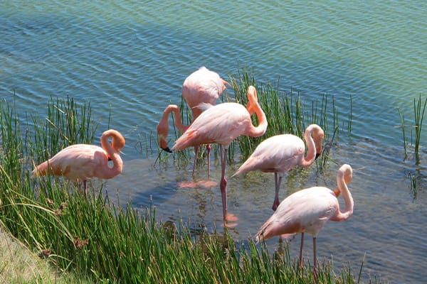 Galapagos Flamingos in pond