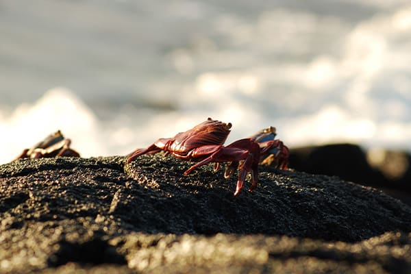 Sally Light Foot Crab On Rocks