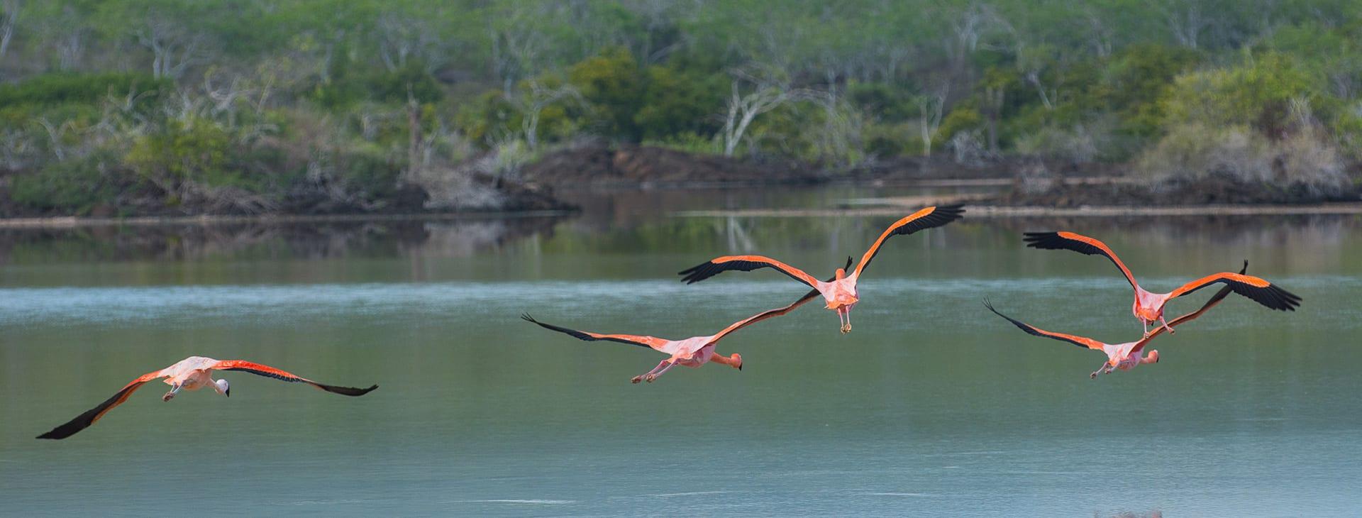 Flamingos flying over a lake
