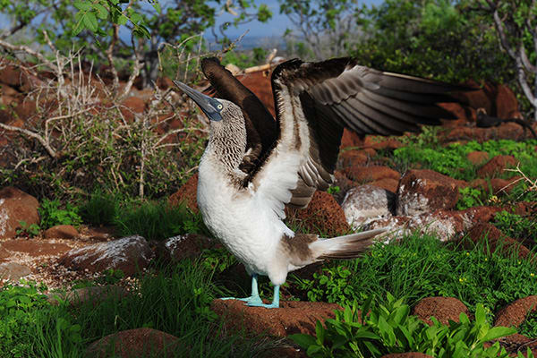 Blue footed booby flapping wings