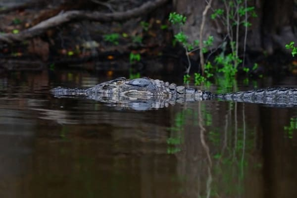 a large caiman in the water
