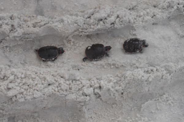 baby turtles walking