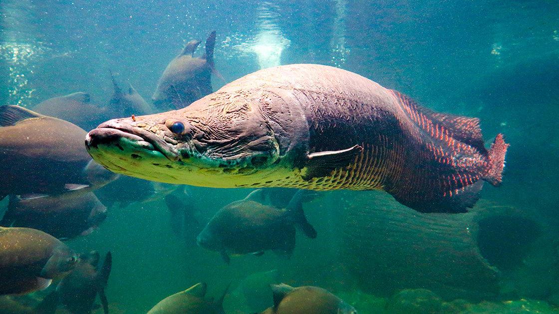 Pirarucu,(arapaima,Gigas),One,Largest,Freshwater,Fish,And,River,Lakes