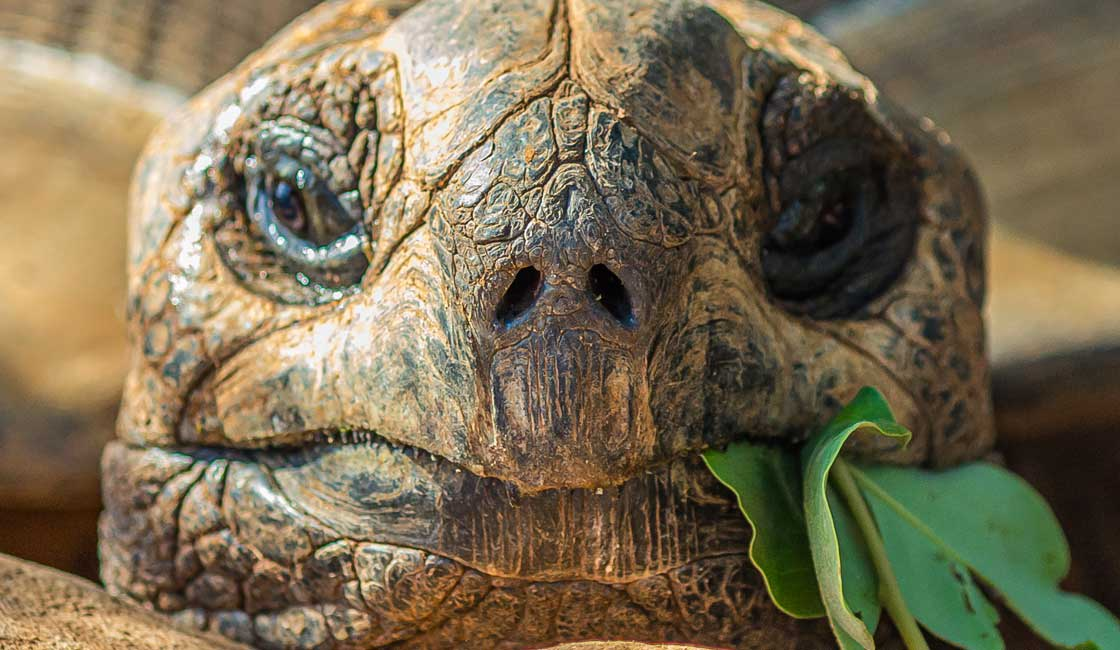 Tortoise with a leaf sticking out of his mouth