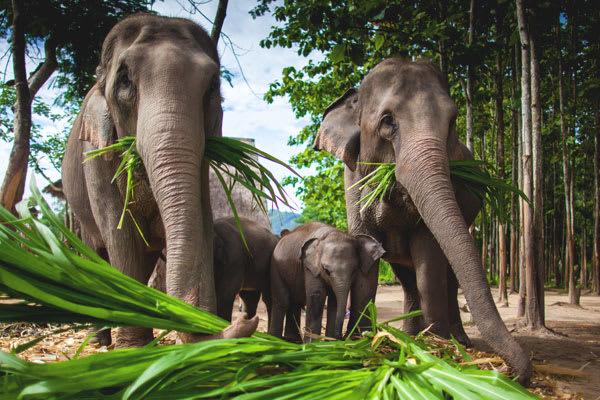Elephants eating leaves